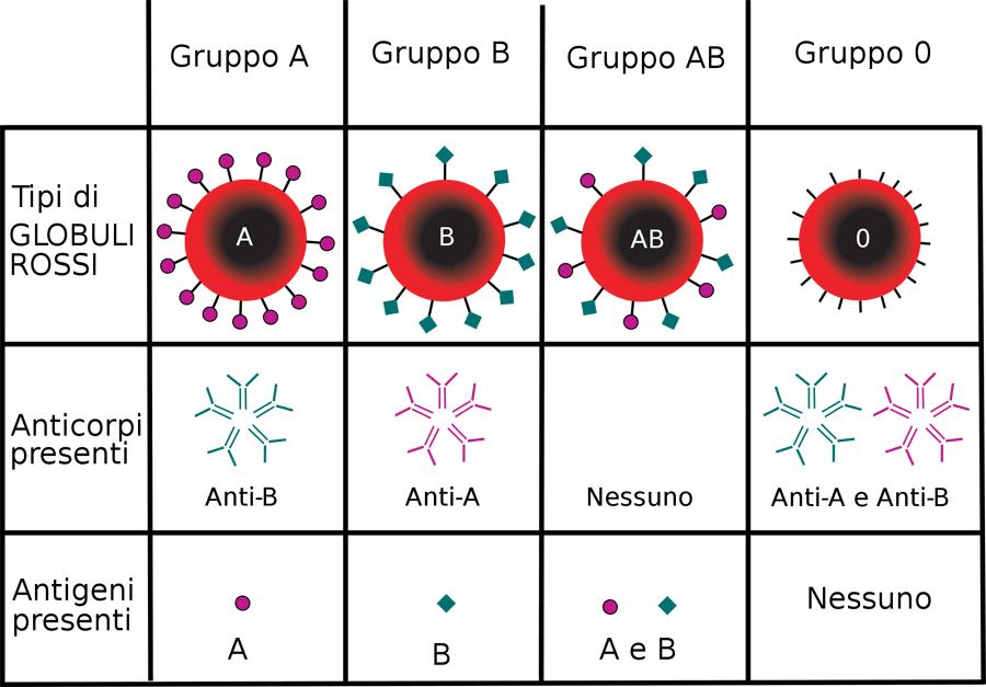 gruppi sanguigni ab0 it small